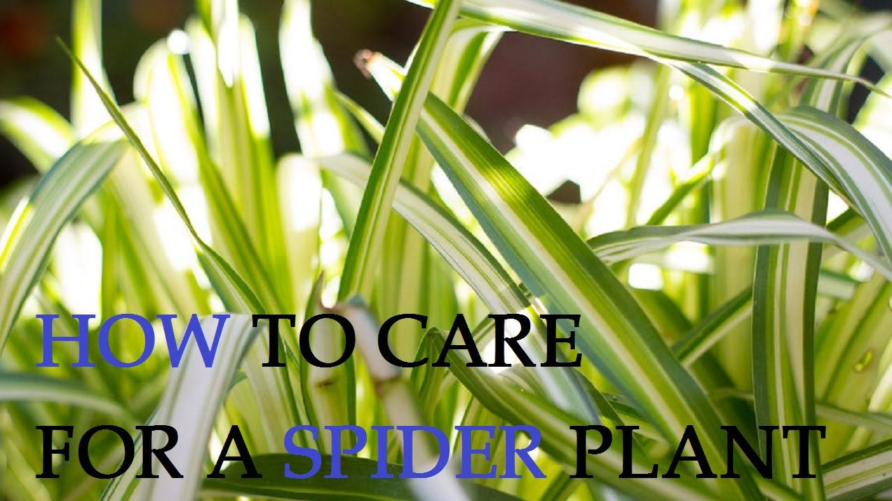 how to care for a spider plant youtube. Black Bedroom Furniture Sets. Home Design Ideas