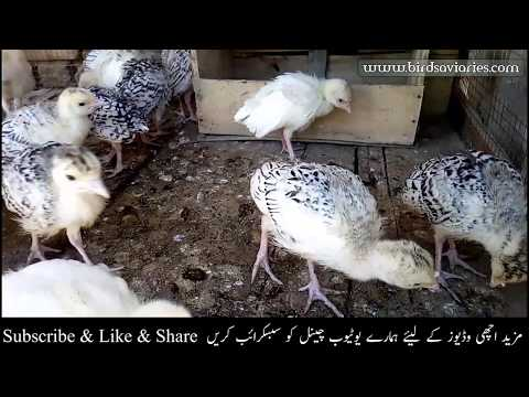 Turkey Bird chiks For Sale | Turkey Chicks Healthy Active Breed