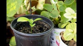 GERMINAR semillas de mandarinas  HOW TO MAKE Germinate seeds of tangerines.