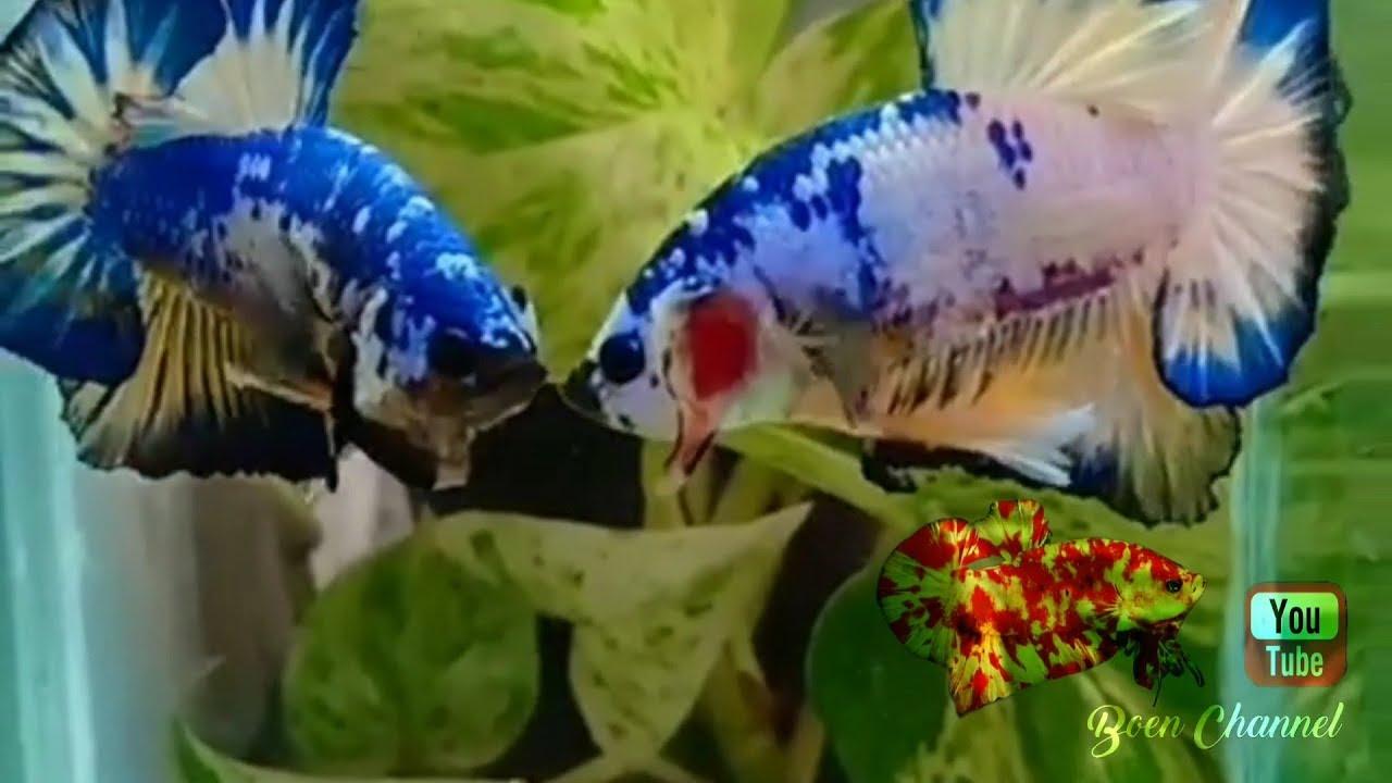 Ikan Cupang Plakat Blue Rim Yellow Base Youtube