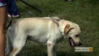 подготовка к выставкам dog ранга сас Retriever Тюмень