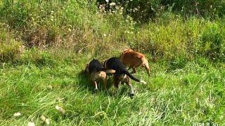 Skyview's Beagles Akc Northern Wv Beagle Club Gun Dog Brace Trial Aug. 29th. & 30th.