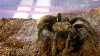 Tarantula Feeding Video 135 Part 3 - Feeding Bonanza