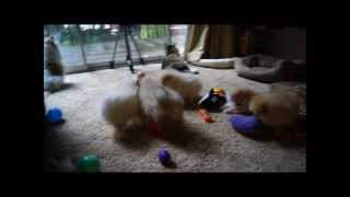 Pomeranian Pups Play Tug-a-war