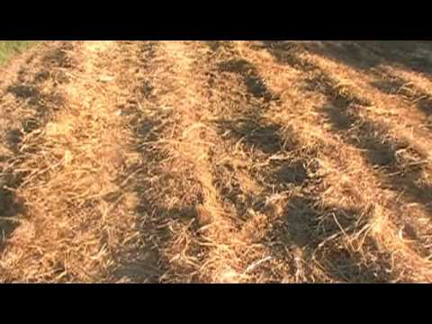 beet mangel livestock chicken feed trial goathollow