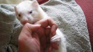 Ferret that apologizes for an intense bite. *She's just playing. 噛...