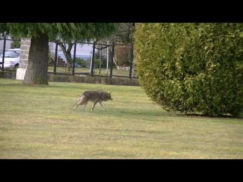 Thumbnail: Coyote stalks and starts going in for attack on elderly lady and dog