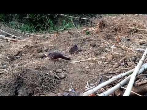 ต่อนกเขาใหญ่ (Spotted dove) Ep9