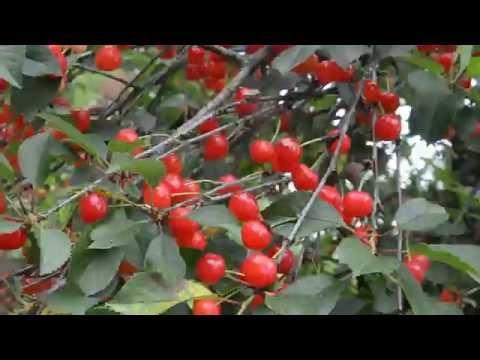 А вишня красная вишня спелая песня