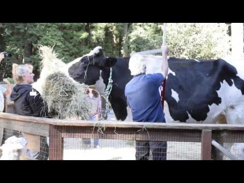 Danniel The Gentle Giant Steer is Leaving the Zoo