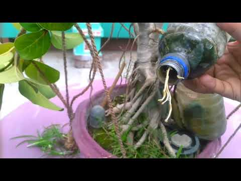 How to grow aerial roots in baniyan tree?