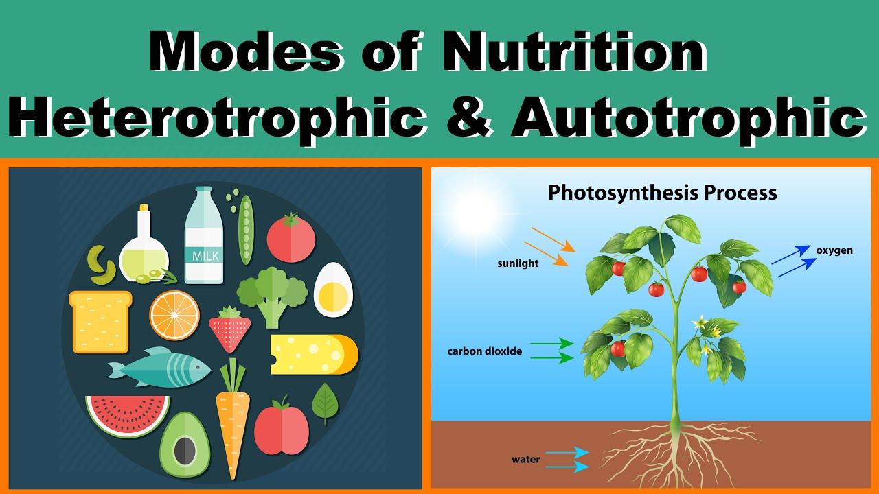 Nutrition | Modes of Nutrition | Heterotrophic & Autotrophic ...