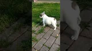 Уникального  окраса щенки Французского  Бульдога