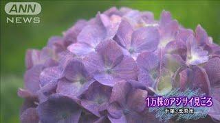 梅雨空でこそ映えるアジサイ 1万株が咲き誇る(19/06/08)