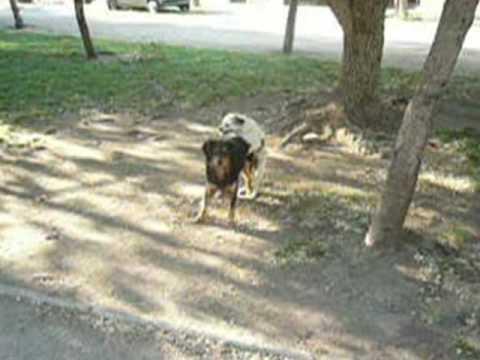 Perros apareandose youtube - Imagenes de animales apareandose ...