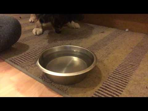 Teach Your Dog To Drink Water On Cue!