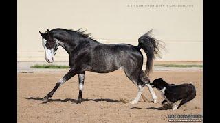 Вороные арабские лошади. Продаётся чистокровный арабский жеребец вороной-сабино-рабикано масти.