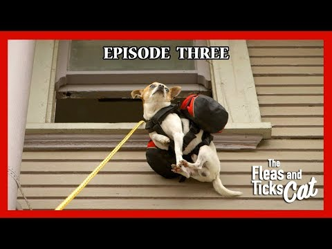 Chihuahua Pancho climbs a house - Nic and Pancho Web Series Ep#3