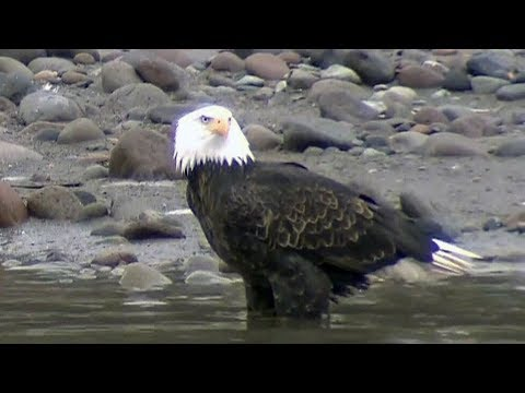 Caught On Cam: Seagull Falls Prey To Eagle In N.S.
