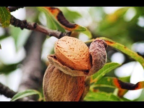 Farming Almonds - by Curiosity Quest