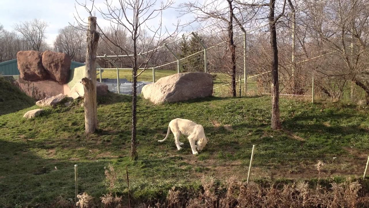 White Lions Toronto zoo 2012 with Lion roar - YouTube - photo#39