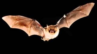 BATS SOUND EFFECT IN HIGH QUALITY