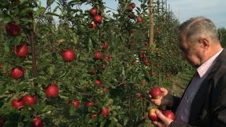 Gambar cover Polish apples hit by sanctions battle with Russia