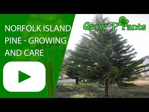 Norfolk island pine - growing and care