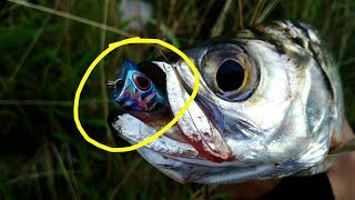 Umpan ampuh mancing ikan tarpon atau bulan bulan
