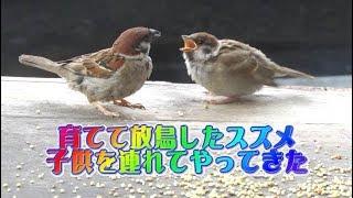 保護したスズメの成長記録・6 ~子供を連れてきた~The sparrow which brought a child.
