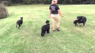 L-ace  Giant Schnauzers, Doberman's, German Shepherds For Sale Protection Obedience Training