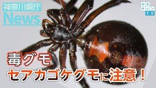 県庁ニュース(緊急版)毒グモ!「セアカゴケグモ」解説動画
