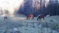 Pyrénées randonnées Comminges,rencontre avec des chevaux en liberté.