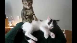 Подборка смешных видео с котиками 20 минут