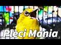 Pleci Nembak Materi Variasi Wekwek Kowul Ciblek  Mp3 - Mp4 Download