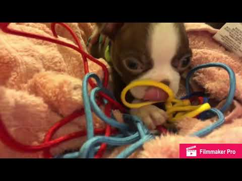 ASMR Boston Terrier Puppy chewing on paracord string