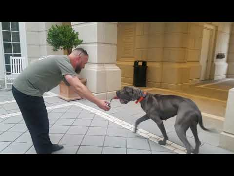 Vashti | Great Dane | Giant Breed Dog | Awesome Obedience