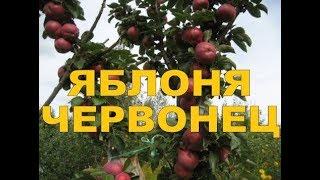 ЯБЛОНЯ КОЛОНОВИДНАЯ ОСЕННЯЯ ЧЕРВОНЕЦ  (ВСТИСП) проф. В.В.Кичина (The COLUMNAR APPLE tree  DUCAT)