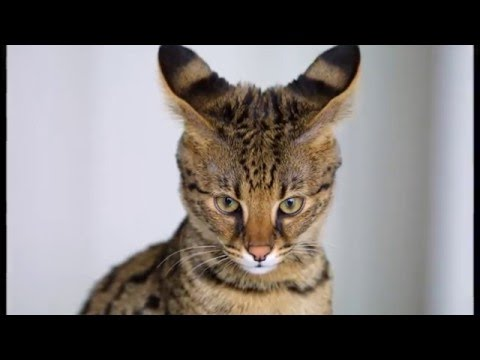 Photos of my cat breed Savannah (cat)