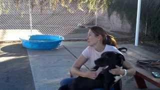 Ozzy, The Labrador Retriever Mix Puppy Needs A Fur-ever Home