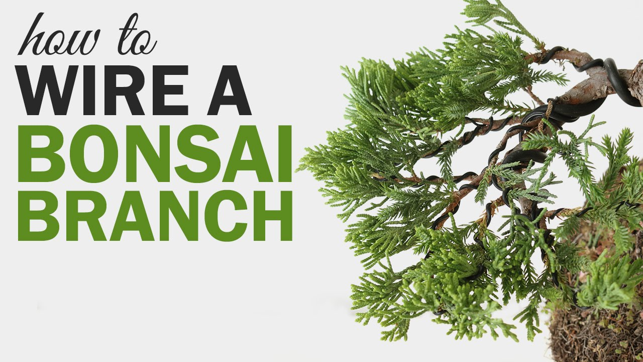 how to wire a bonsai tree branch youtube rh youtube com bonsai wiring techniques pdf bonsai wiring techniques yonetimi toshihiro