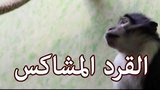 الحيوانات - القرد المشاكس