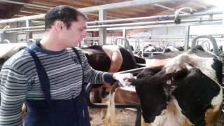 Внутримышечная инъекция в бедро корове