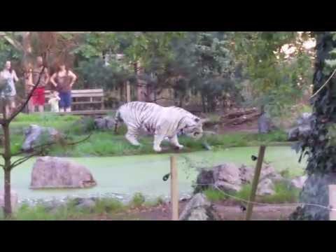 ie tigre qui avait perdu son joujou dans l'eau