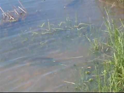 Sterile Grass Carp Eating Grass