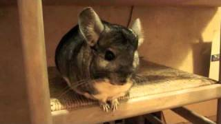 Handbag the Chinchilla...You Are My Sunshine