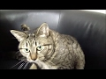 飼い主の椅子の上で毛づくろいする猫 Cat grooming