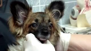 Протезирование глаз у собаки. Чихуахуа 6 месяцев Гемофтальм.