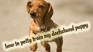 how to potty train a miniature dachshund puppy