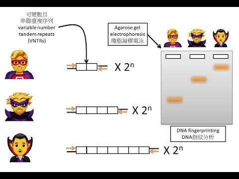 [BioTech整合] DSE Bio PCR+限制酶+DNA指紋 PCR+Restriction Enzyme+DNA Fingerprint